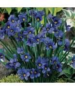 50Pcs Blue Eyed Grass Seeds Sisyrinchium bellum Seed Ornamental Grass - $19.72