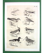 BIRDS Plover Peewit Swallow Oyster Catcher - Antique Litho Print - $10.71