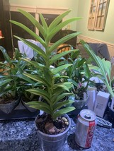 Epidendrum Reed Type Orchid Plant Blooming Size YELLOW radicans ~~~~~~~~~~~~~ image 2