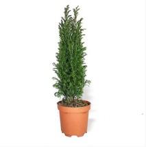 Natural Miniature Christmas Pine Tree - Christmas Terrarium Tree - Chris... - $17.00