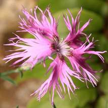 Ship From Us 50 Seeds Fringed Pinks,Diy Decorative Plant Am - $39.99