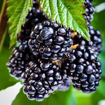 Rubus ouachita Blackberry Ouachita' thornless - $26.59