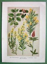 FIELD FLOWERS Buckthorn Red Clover Greenweed Medicinal - 1890s Color Lit... - $8.96