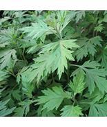 100pcs Rare Artemisia carvifolia annua Seeds Sweet Wormwood herb s100dy - $8.91