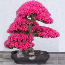 50 Seed Rare F1 Azalea Hardy Red Rhododendron Seeds, DIY Beautiful Tree DO - $15.99