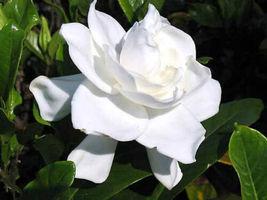 "HEIRLOOM GARDENIA BUSH 6"" WHITE FLOWERING CAPE JASMINE SHRUB ROOTED LIVE... - $39.99"