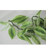 Devils Backbone Pedilanthus Tithymaloides Variegatus, Zig Zag Plant 10in... - $3.81