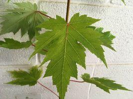 Celebration Maple qt. pot image 3