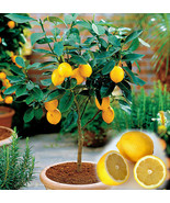 15 Edible Fruit Meyer Lemon Seeds, Exotic Citrus Home Bonsai Lemon Tree ... - $3.59