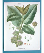 PANAMA RUBBER TREE Castilloa Elastica - Beautiful COLOR Botanical Print - $28.69