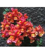 250 Seeds - Orange Wonder Snapdragon Antirrhinum Majus #SFB15 - $17.99