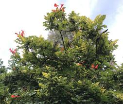 10 Fresh Cuttings- Cape Honeysuckle Tecomaria Hummingbird  Butterfly No ... - $6.64