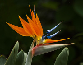 Shipped From Us, Premium Seed: 15 Particles Of CRANE-FLOWER-PLANT Seeds Ecc - $26.99