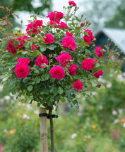 50 pcs Rose Tree Rose-red Perenial Flower Seeds Very Beautiful and  fragrant - $14.99