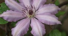 "Live Plant - Jubilation Clematis Vine - 2.5"" Pot - Garden-Outdoor Living - tkhit - $45.00"