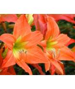 4 Bulbs - Amaryllis Bulbs,True Hippeastrum Bulbs Flowers - ₹208.85 INR