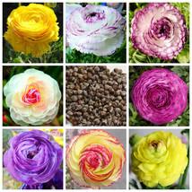 100%True Ranunculus Double Buttercup 100 pcs Ranunculus Flower - $4.80