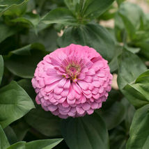 Benary's Giant Bright Pink Zinnia Seed, Zinnia Flower Seeds - $21.00