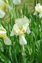 1 Rhizome - Early Light Pale Yellow Bearded Iris - Tuber Rainbow Plant - $7.99