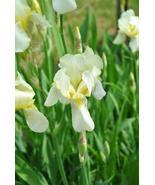 1 Rhizome - Early Light Pale Yellow Bearded Iris - Tuber Rainbow Plant - $7.99