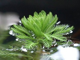 1 Root Stem Cutting of Live Parrot Feather Pond Plant - $28.71