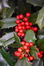 "6 Plants Nellie R Stevens Holly Tree Evergreen Established Rooted in 4"" ... - $78.99"