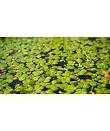 100 LIVE DUCKWEED PLANTS (LEMNA MINOR) - $14.00