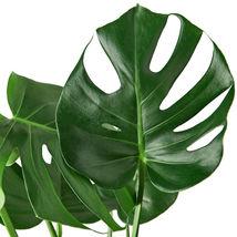 "1 Live Plant - Philodendron Monstera 6"" Pot #HPS13 - $56.99"