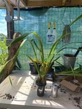 Cymbidium Cym. Street of Gold 'Mana' Orchid Plant Blooming Size Warm 0512 K image 2