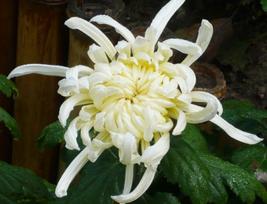 50pcs Very Beautiful White Chrysanthemum Flower Seeds IMA1 - $13.99