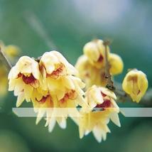 8 Seed Chinese Flower Yellow Fragrant Winterseet, DIY Beautiful Tree DO - $10.99