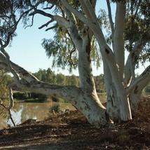 SHIP FROM USA Eucalyptus Red Gum Tree Seeds (Eucalyptus Camaldulensis) 200+Seeds - $36.68