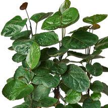 "1 Live Plant - Aralia Fabian Stump 'Polyscias Scutellaria'  6"" Pot #HPS13 - $59.99"