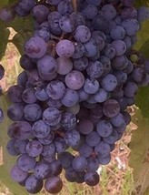 Zinfandel Wine Grape Vine 3 gallon Live Plant Home Garden Easy to Grow Healthy - $53.30