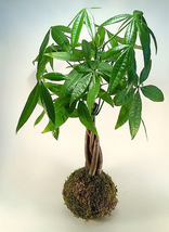 Money Tree Kokedama Bonsai House Plant Japanese Moss - $120.00