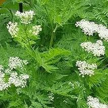 Anise Seed Pack, 200 herb Seeds, Garden Planting, Anise Hyssop Seeds (Agastache  - $7.49