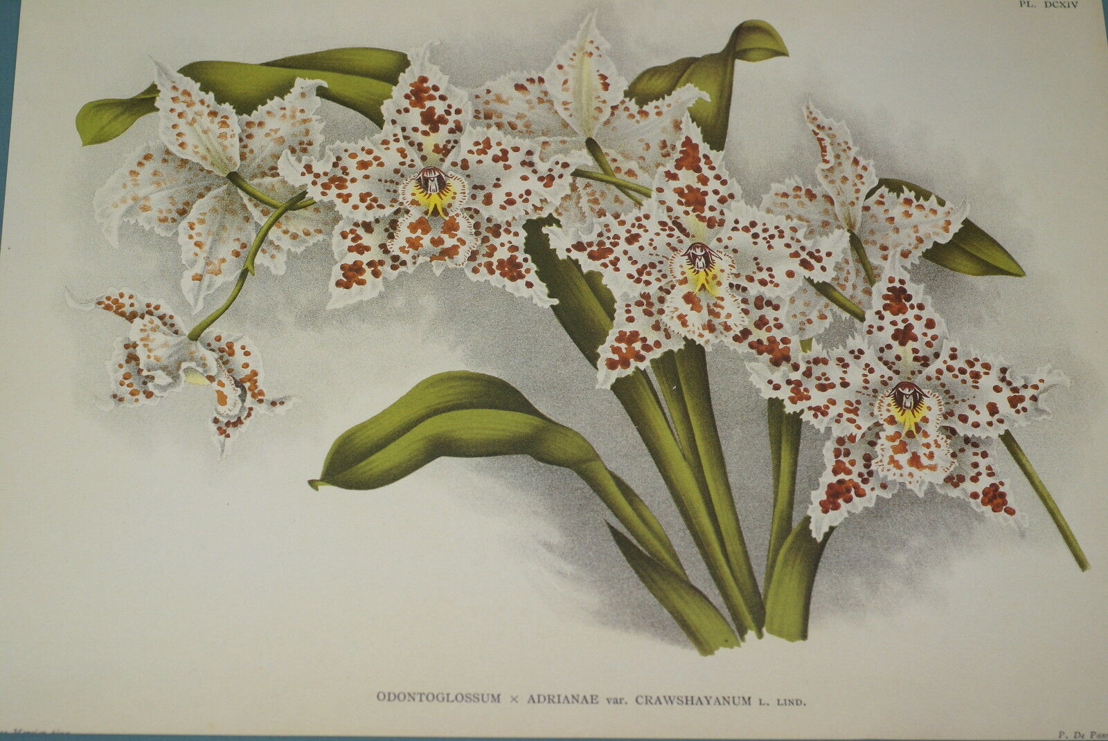 Lindenia Print Limited Edition Odontoglossum Rossi Pauwelsiae Orchid Collector -
