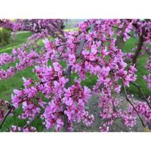 1 Gallon Trade Pot Eastern Redbud Tree Established Roots 1 Plant - $58.99