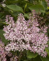 "Korean Lilac, Syringa pubescens patula ""Miss Kim"" 100 seeds - $26.99"
