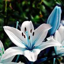 50 Seeds Blue Rare Lily Bulbs Seeds Lily Flower Seeds  - $2.99