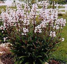 Husker Red, Penstemon Digitalis, beard tongue/fully rooted live plant Only 15.99 - $15.99
