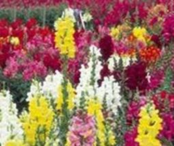 2 Variety Beautiful Snapdragon Maximum Mix Fresh Seeds #TLM1 - $27.99+
