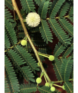 5 Pcs Seeds Lead Leucaena Leucocephala Tree - DL - $16.00