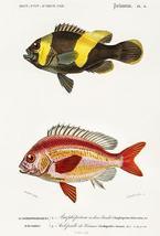 Saddleback Clownfish & Whitecheek Monocle Bream - Fish Illustration Poster - $9.99+
