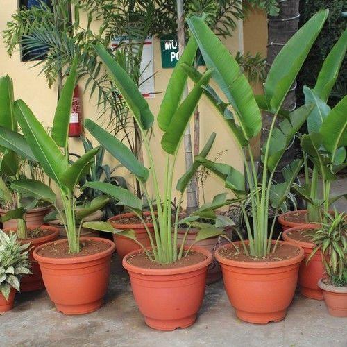 Travelers Palm Seeds (Ravenala madagascariensis) 10+Seeds ...