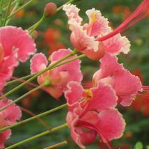 CAESALPINIA PULCHERRIMA Pride of Barbados pink 100 seeds - $82.99