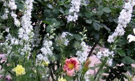 150 seeds - White King Larkspur Delphinium Consolida Knight's Spur #SFB15 - $17.99