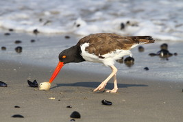 Oystercatcher 13 x 19 Photograph - $35.00