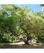 African Sumac Tree Seeds (Rhus Lancea) 40+Seeds - $21.98