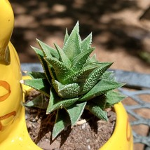 "Yellow Cat Planter with Haworthia Succulent, 4"" glazed ceramic, leopard jaguar image 3"